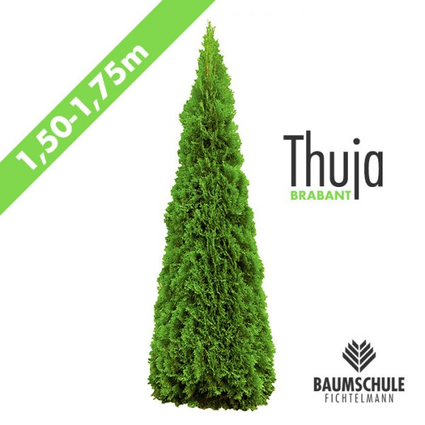 Thuja Lebensbaum Brabant 1,5m Baumschule