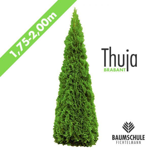 Thuja Lebensbaum Brabant 2,0m Baumschule